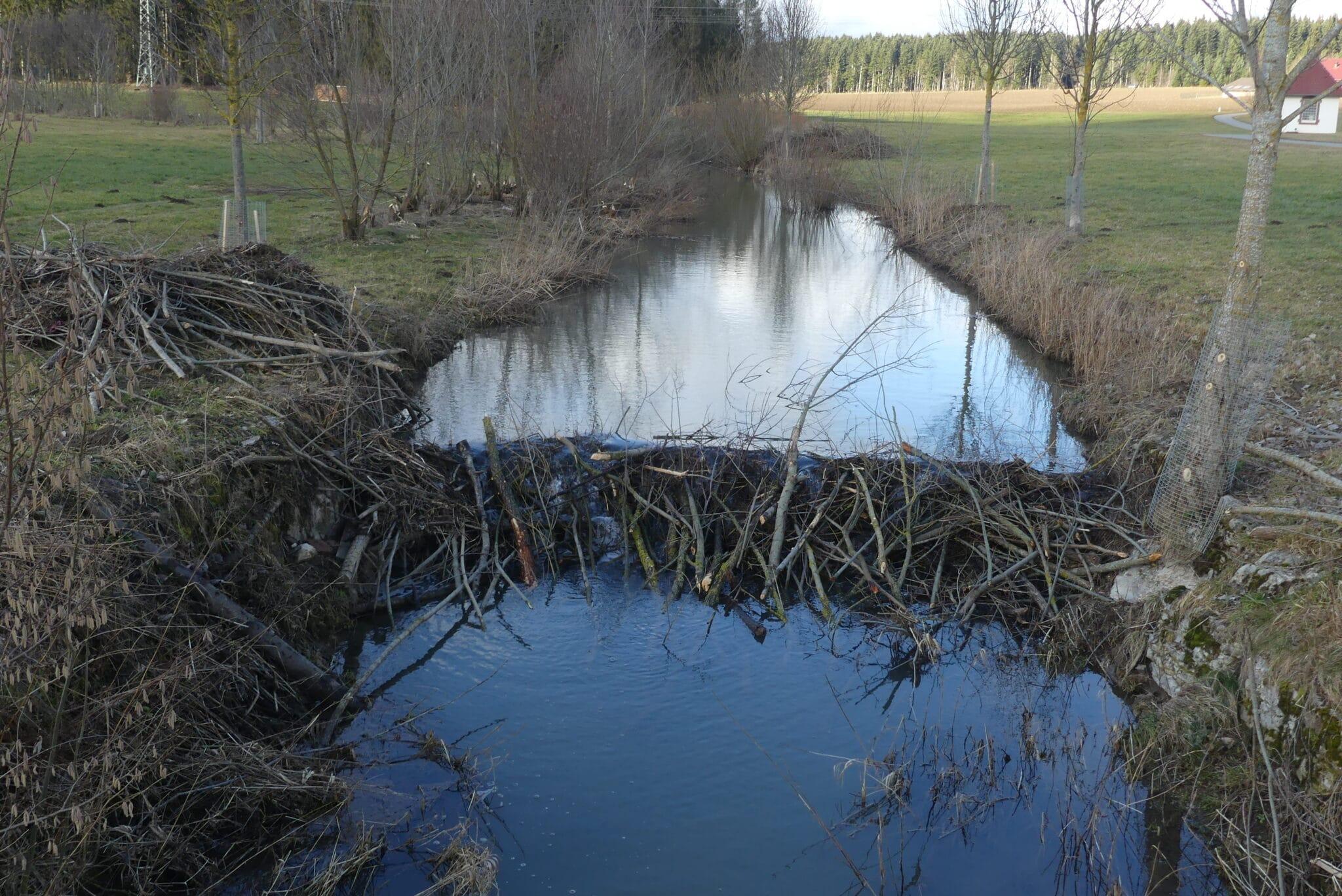 Unweit des Radwegs Waldmössingen-Heiligenbronn hat der Biber einen Damm in der Eschach gebaut. Fotos: him