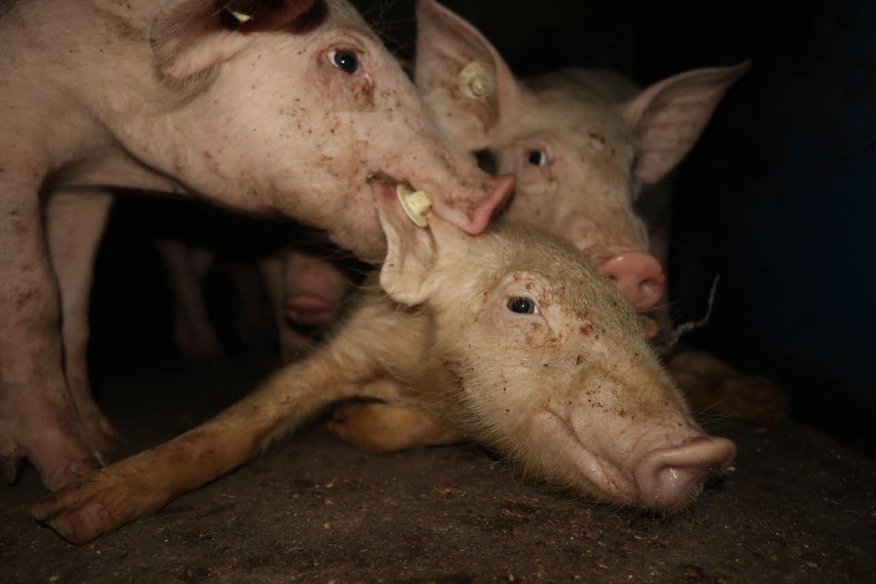 Stress im Massenstall. Foto: SOKO Tierschutz