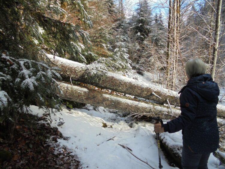 zwei umgestürzte Bäume blockieren den Burgenpfad unterhalb der Ruine Falkenstein.