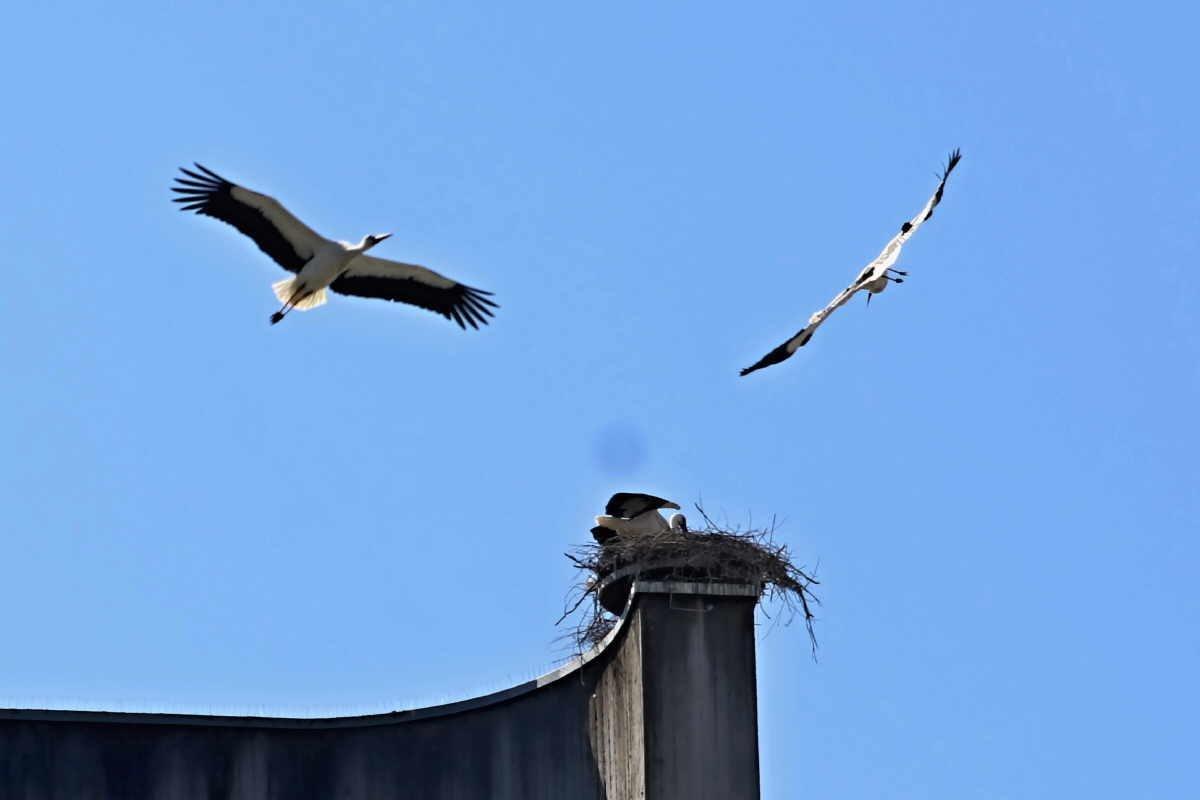 Beim Kampf der Störche geht es wohl um das Nest. Foto: Berthold Hildebrand