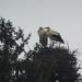 Verliebt: Storchenpaar in Waldmössingen. Fotos: Polet