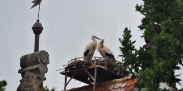 Es hatte so gut begonnen: Die Störche im Storchennest auf dem Turm der Alten Kirche Winzeln. Foto; emo
