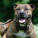 American Steffordshire Terrier. Symbol-Bild von Katrin B.