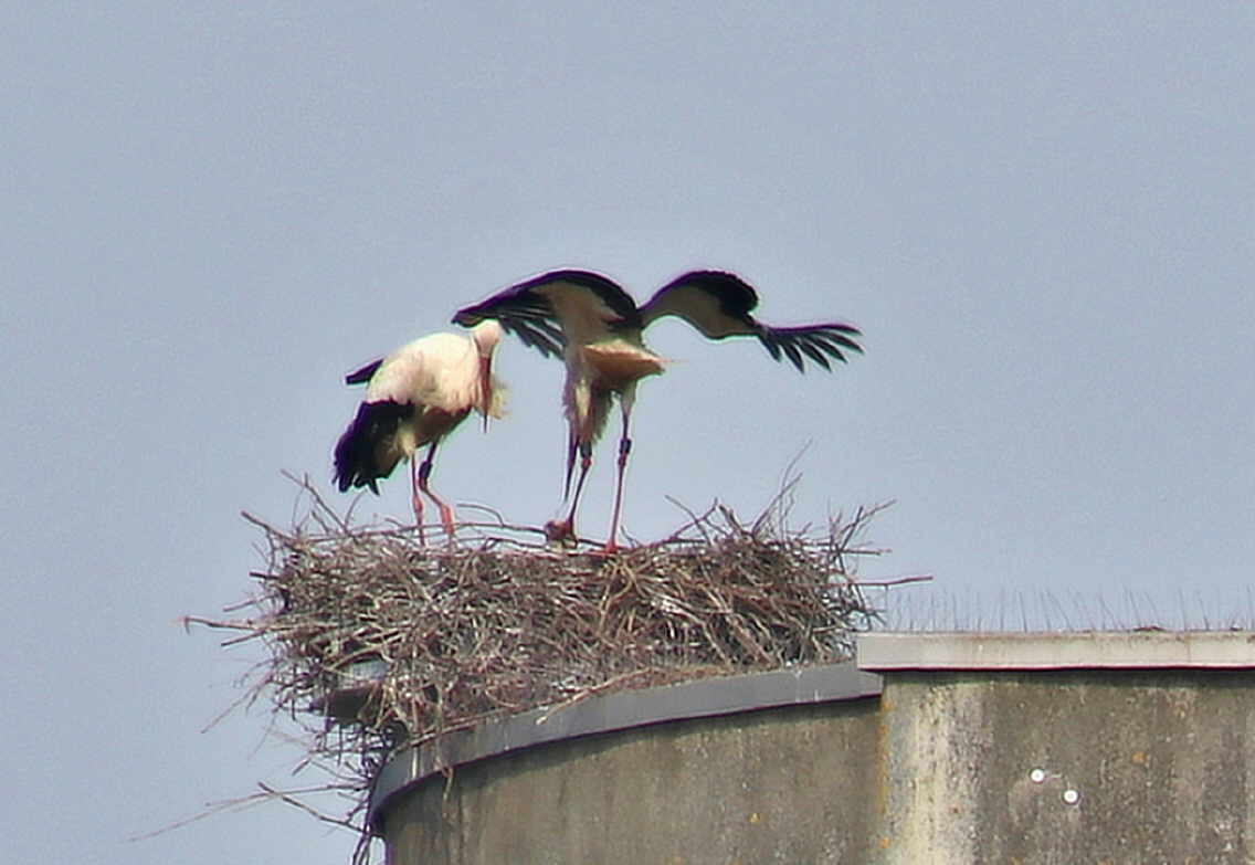 Wachablösung der Eltern auf dem Nest. Foto: HIldebrand