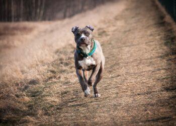 Ein American Staffordshire Terrier. Symbol-Foto: privat